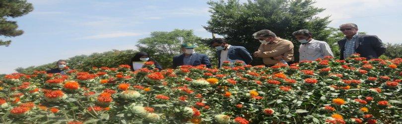 تولید دو رقم اصلاح شده گیاه گلرنگ توسط محققان پژوهشکده فناوری تولیدات گیاهی...